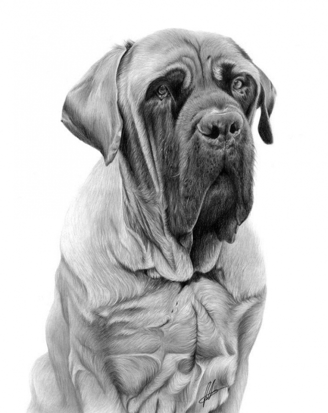 mastiff pencil drawing laura