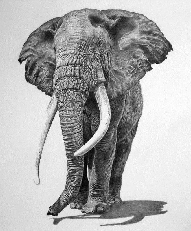 elephant animal drawings -  1