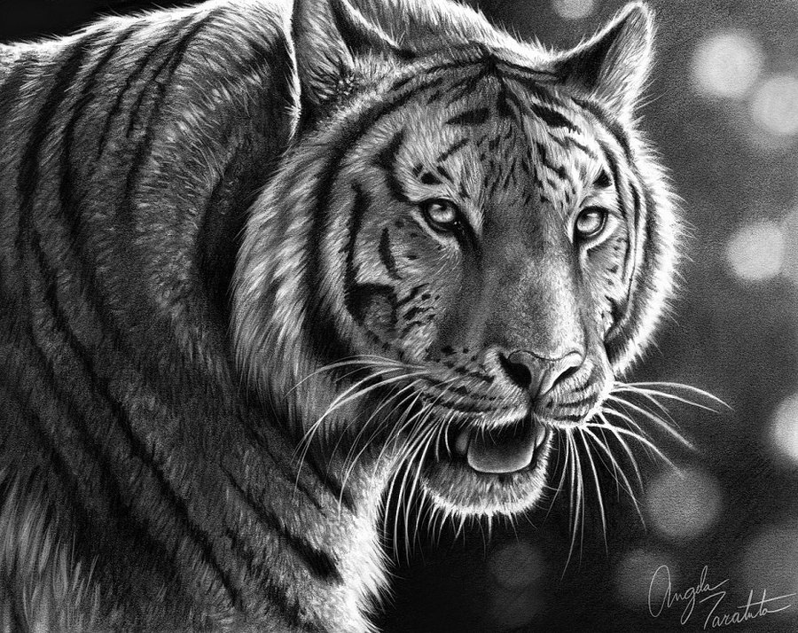 tiger animal drawings -  10