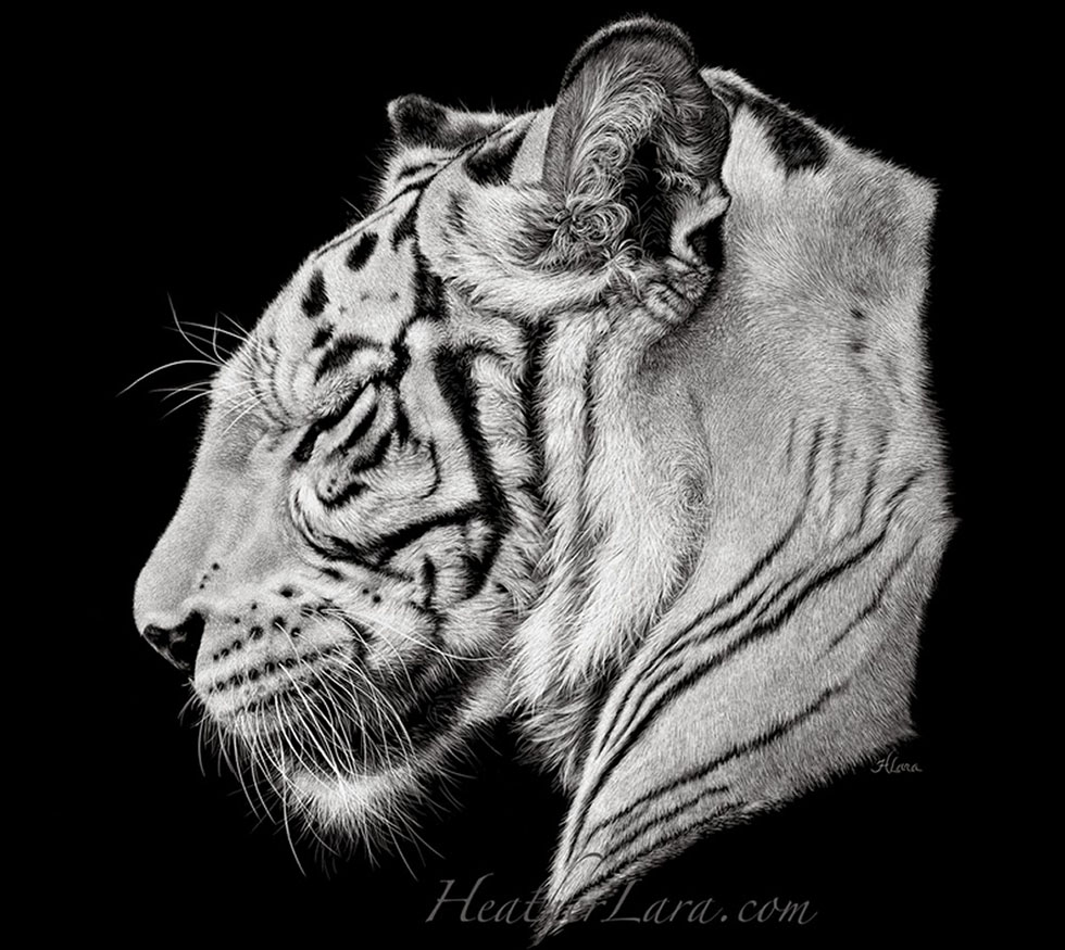 animal drawings by heather lara -  11