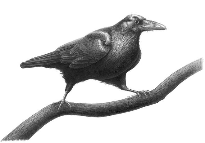 bird drawings by raven study -  12