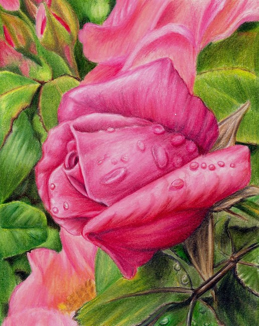 rose flower drawings -  14