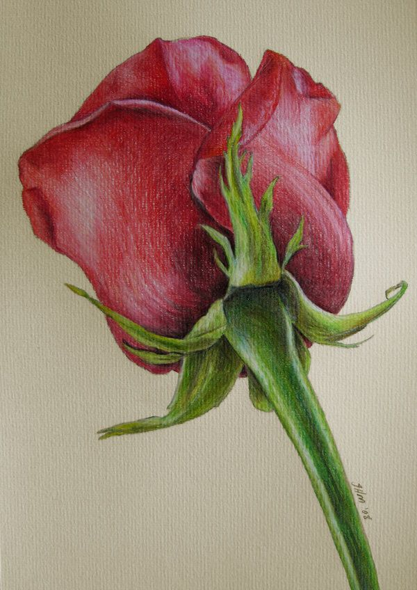 rose flower drawings -  5