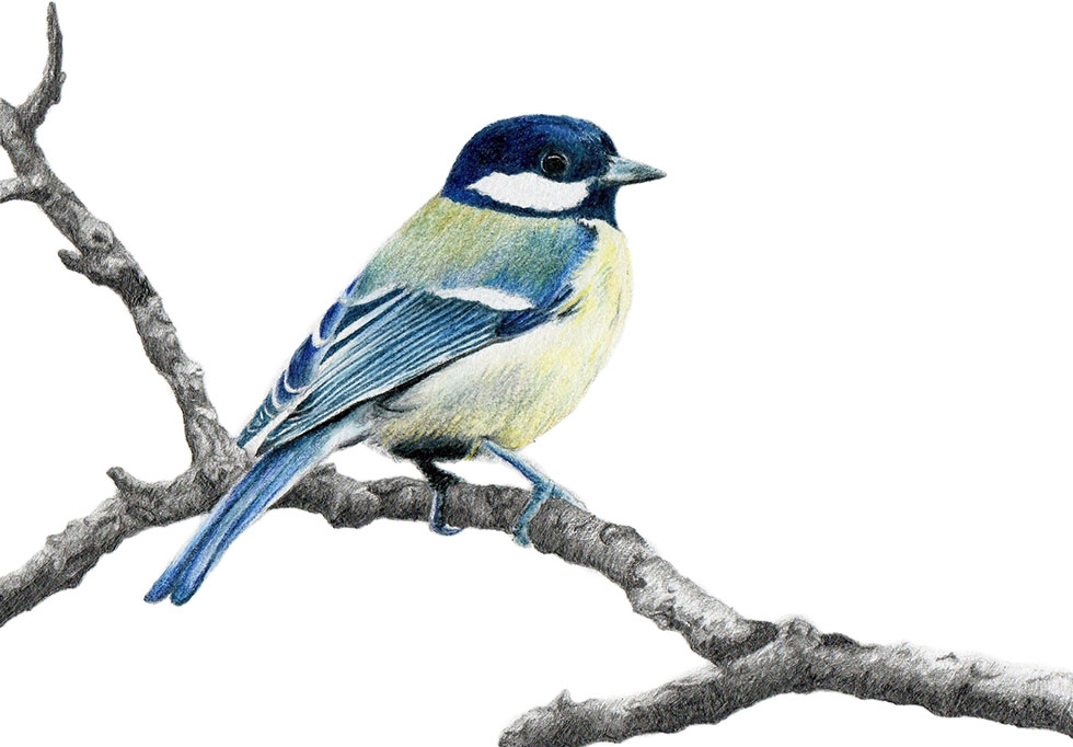 bird drawings by alexsmith