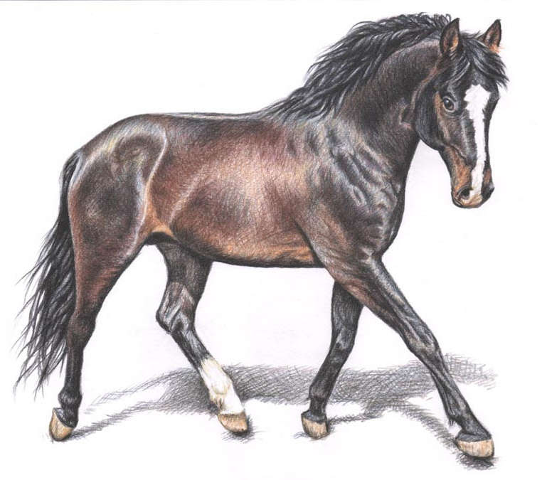 5 horse color pencil drawing nicole