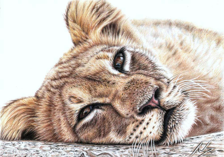 lion color pencil drawing nicole