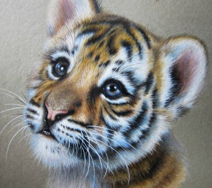 tiger pencil drawing by kate mur