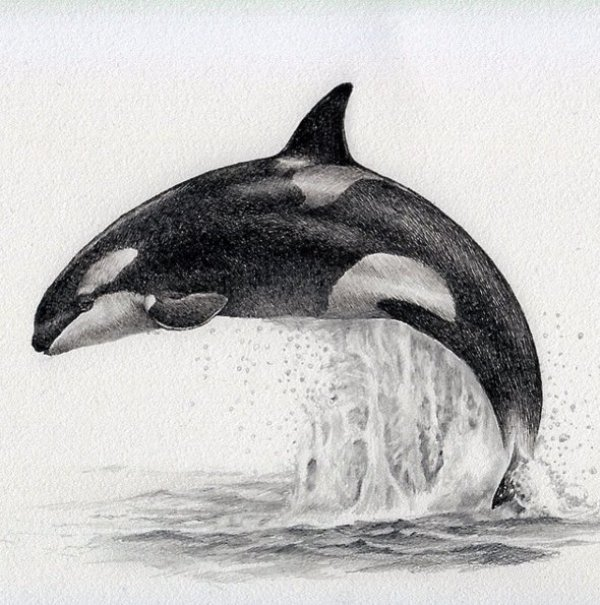 dolphin drawing by kozue