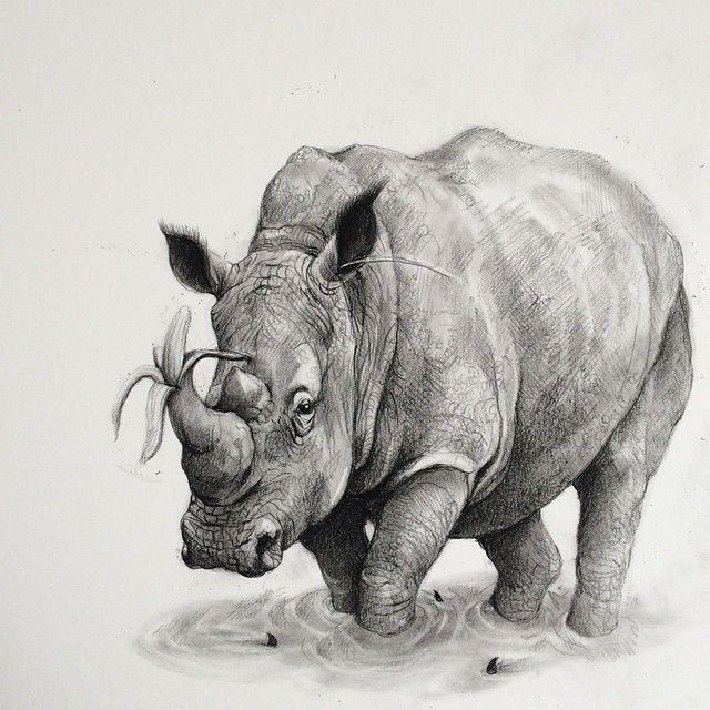 rhinoceros animal pencil drawing by adonna khare