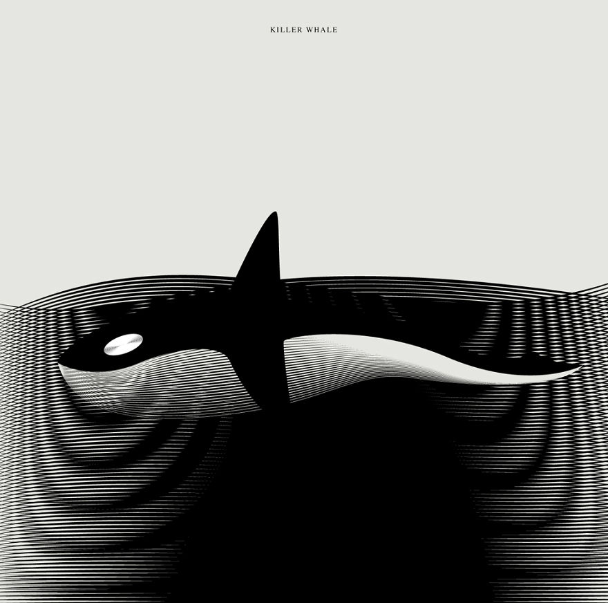 killer whale animal drawing illustration by andrea minini