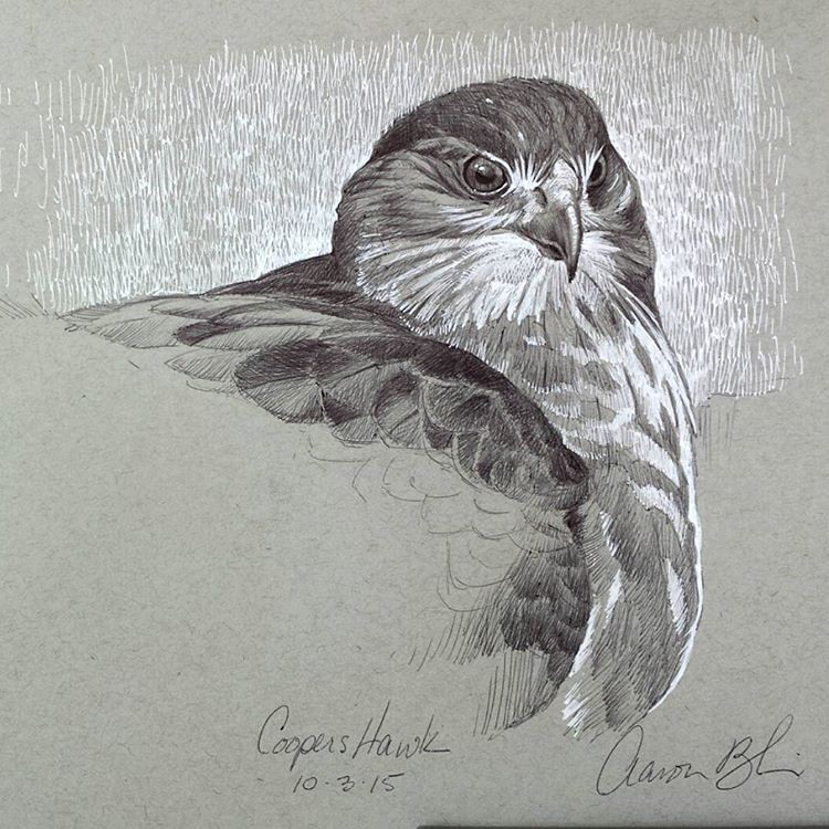 owl bird pencil drawings by aaron blaise