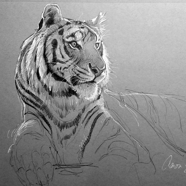 tiger animal pencil drawings by aaron blaise
