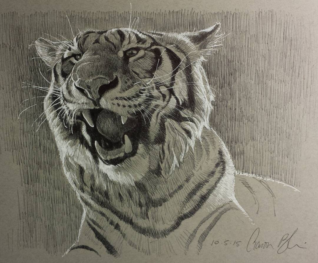 3 tiger animal pencil drawings by aaron blaise