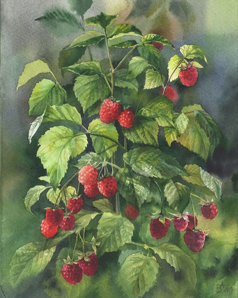 16 watercolor painting raspberry plants besedina anastasia