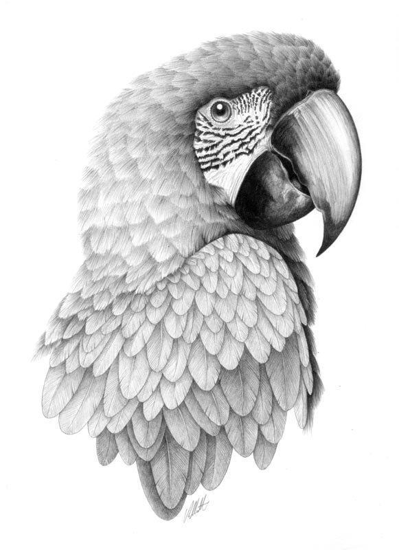 10 parrot bird drawings