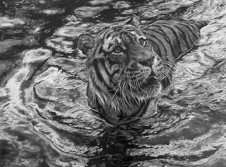 tiger animal drawings -  16