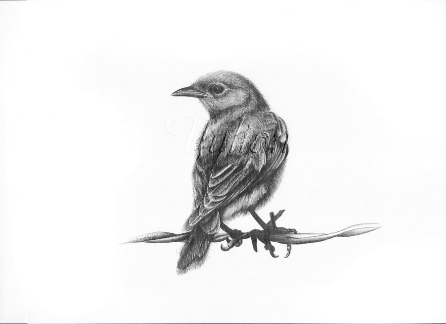 19 bird drawings