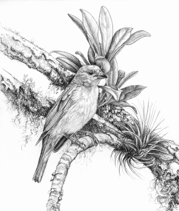 2 beautiful bird drawings