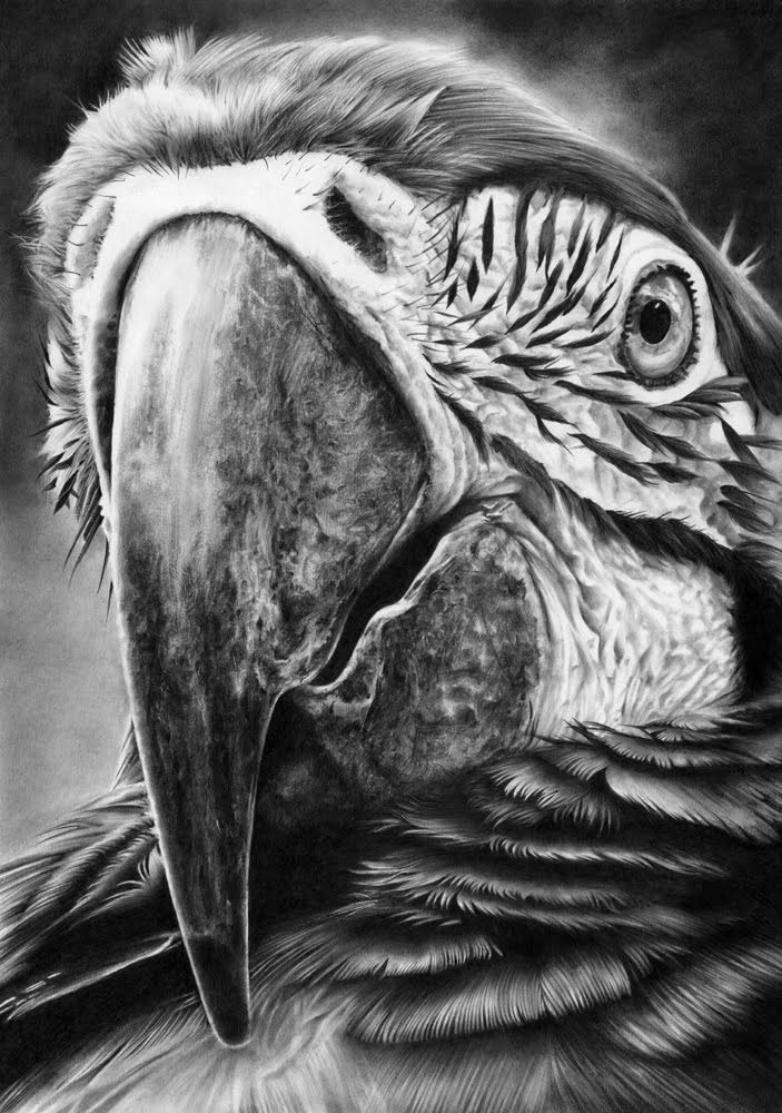 parrot closeup drawings -  3