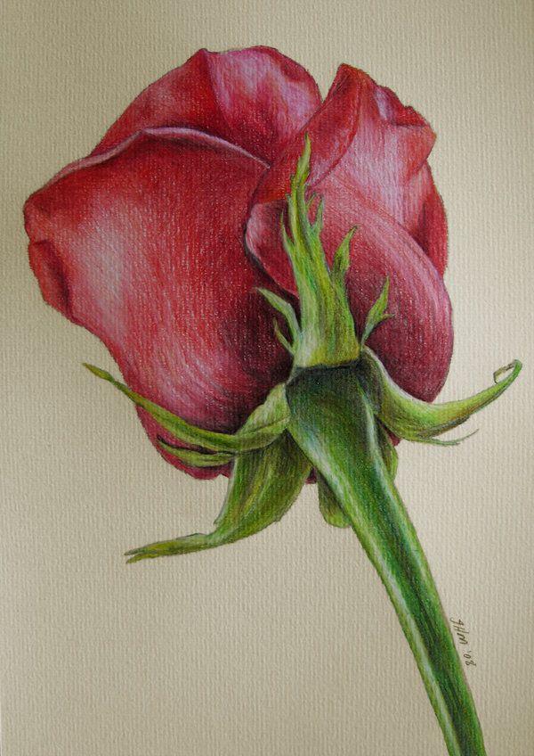 5 rose flower drawings