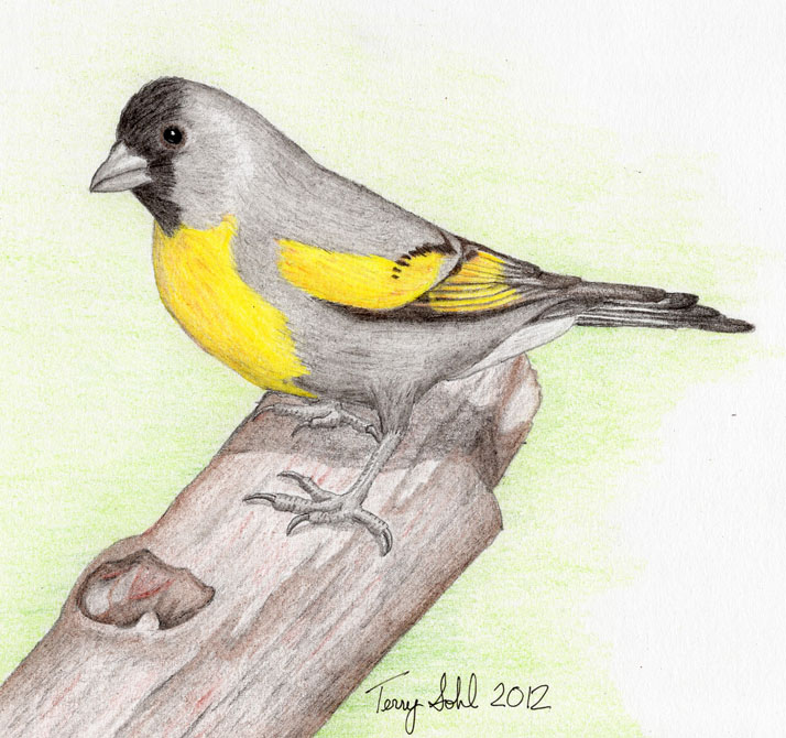9 lawrence bird drawings